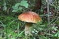 Boletus edulis.Mushrooms of Russia.jpg