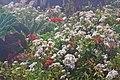 Bomarea och Eupatorium-0623 - Flickr - Ragnhild & Neil Crawford.jpg