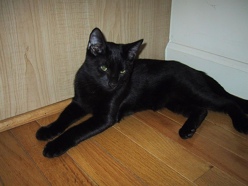 Bombay Cat Breed Personality