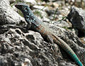 Bonaire whiptail on rocks.jpg