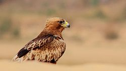 Booted Eagle of West Bengal.jpg