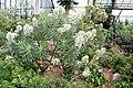 Boraginaceae - Echium decaisnei - 1.jpg