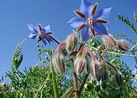 Borago-officinalis-flowers.JPG
