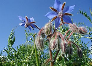 Hjulkrone (Borago officinalis).