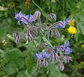 Borago officinalis - Parc floral.JPG
