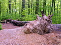 Bornumer Holz-gestürzter Baum.JPG