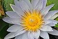 Botanischer Garten der Universität Zürich - Nymphaea 2010-09-16 15-27-16.JPG