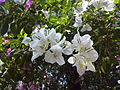 Bougainvillea in Mumbai India 2.jpg
