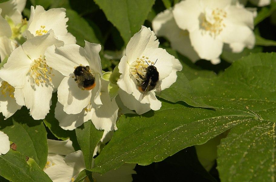 Bumblebees (Bombus lapidarius) on Philadelphus coronarius.