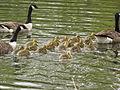 Branta canadensis -Calgary, Alberta, Canada -adults and goslings-8.jpg