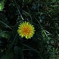 Bright yellow flower in shadow.JPG