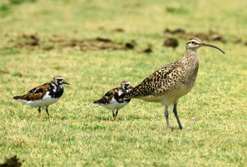 Bristle-thighed Curlew and 2 Ruddy Turnstones