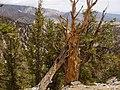 Bristlecone Pines USA Ca.jpg