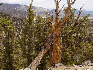 Inyo National Forest - The Shulman grove of Bristlecone pines