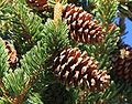 Bristlecone pinus longaeva bristly cone.jpg