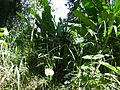 Bromélia em meio a folhagens.jpg
