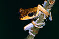 Brown-striped Tree Frog (Polypedates macrotis) (14206626035).jpg