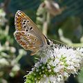 Brown Argus. Aricea aegestis cramera - Flickr - gailhampshire.jpg