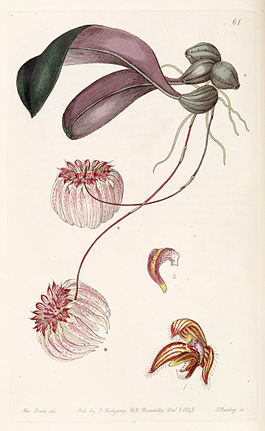 Bulbophyllum auratum (as Cirrhopetalum auratum) - Edwards vol 29 (NS 6) pl 61 (1843).jpg