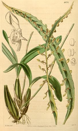 Bulbophyllum maximum(as Megaclinium maximum) - Curtis' 69 (N.S. 16) pl. 4028 (1843).jpg