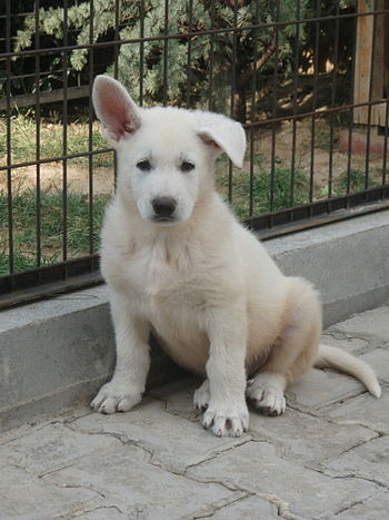 English: White German Shepherd puppy