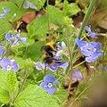 Bumblebee (male Bombus lapidarius?), Sandy, Bedfordshire (9020177268).jpg