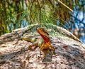 Bundaberg Botanic Gardens - Eastern Water Dragon.jpg