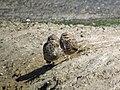 Burrowing Owls - Flickr - GregTheBusker.jpg
