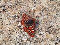 Butterfly (2634117130).jpg