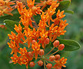 Butterfly Weed Flower and Bud Closeup 2408px.jpg