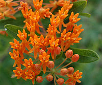 Butterfly Weed Flower and Bud Closeup 2408px