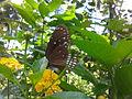 Butterfly irv1.jpg