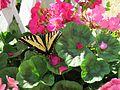 Butterfly on Geranium.JPG