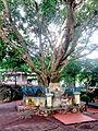 Cây bồ đề ở Thích Ca Phật Đài.jpg