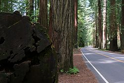 CA 254 (Avenue of the Giants) and redwood trees, Humboldt Redwoods State Park