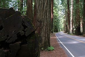 Avenue of the Giants - SR 254 and coast redwoods, Humboldt Redwoods State Park