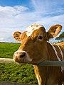 CC cow.jpg