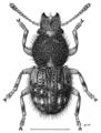 COLE Anthribidae Caliobius littoralis m.png
