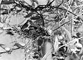 COLLECTIE TROPENMUSEUM Een honingvogel (Nectarinia jugularis pectoralis) op haar nest Dampar TMnr 10006538.jpg