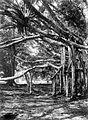 COLLECTIE TROPENMUSEUM Ficus benjamina met luchtwortels in 's Lands Plantentuin te Buitenzorg West-Java TMnr 10010796.jpg