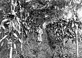 COLLECTIE TROPENMUSEUM Vanille-aanplant tegen lamtoro met indigofera als groenbemester op een onderneming op 1400 meter hoogte bij Semarang Java TMnr 10012303.jpg