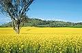 CSIRO ScienceImage 4278 Canola crop near Ardlethan NSW.jpg