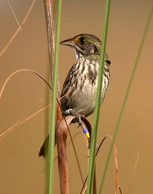 Seaside sparrow - Cape Sable seaside sparrow in Everglades National Park