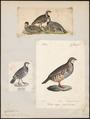 Caccabis rufa - 1700-1880 - Print - Iconographia Zoologica - Special Collections University of Amsterdam - UBA01 IZ17100295.tif