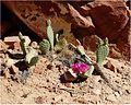 Cacti, Zion NP, Angel's Landing Trail 5-1-14zbb (14391666812).jpg