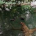 Cairina moschata domestica (pato real o pato criollo) - Tamasopo, SLP.jpg