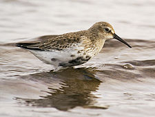 Calidris alpina 01.jpg
