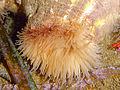 Calliactis parasitica.jpg