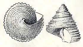 Calliostoma echinatum 001.jpg