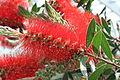 Callistemon macropunctatus var macropunctatus flower 1.jpg